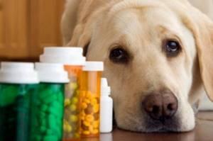 эпилепсия у лабрадоров симптомы и лечение