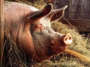 эпилепсия у свиней симптомы лечение