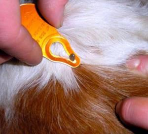 корову укусил клещ симптомы лечение