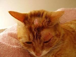 лишай у котов симптомы и лечение