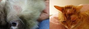 лишай у котов симптомы лечение в домашних условиях