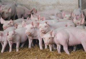 лишай у свиней симптомы и лечение в домашних условиях