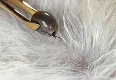 укус клеща у щенка симптомы лечение