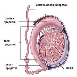 воспаление семенного канатика симптомы лечение