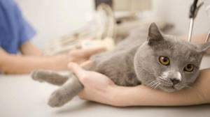 воспаление почек у котов симптомы лечение