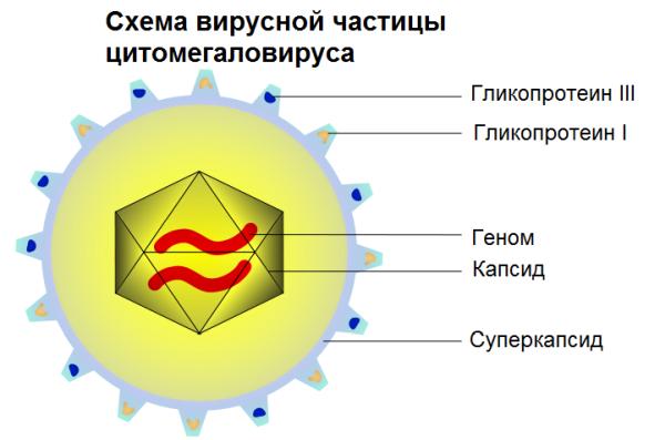 цитомегаловирус у ребенка 5 лет симптомы и лечение