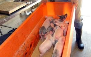 авитаминоз у свиней симптомы и лечение невстает на ноги