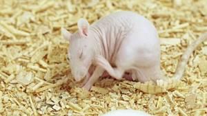 насморк у крысы симптомы и лечение