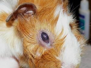 насморк у морской свинки симптомы и лечение